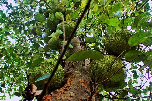 Jackfrucht Baum mit vielen Früchten