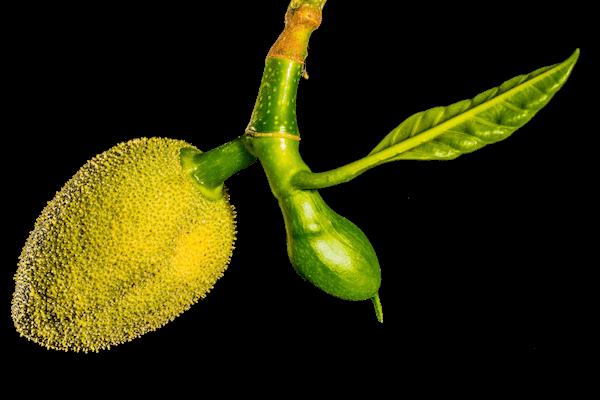 Jackfrucht Frucht